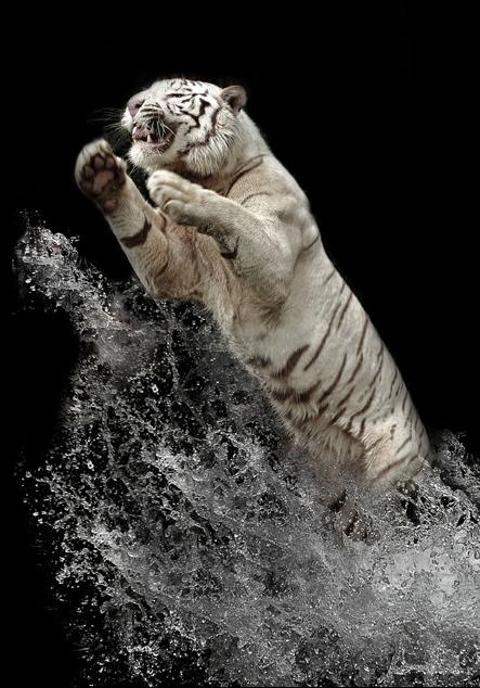 white_tiger_6