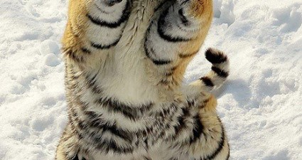 boxing_tiger