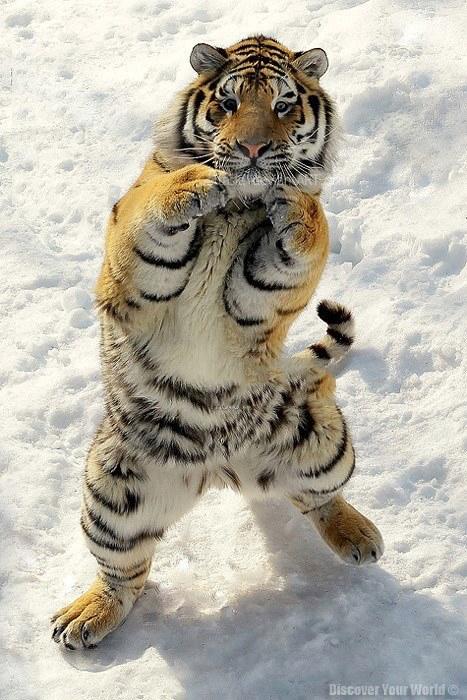 boxing_tiger