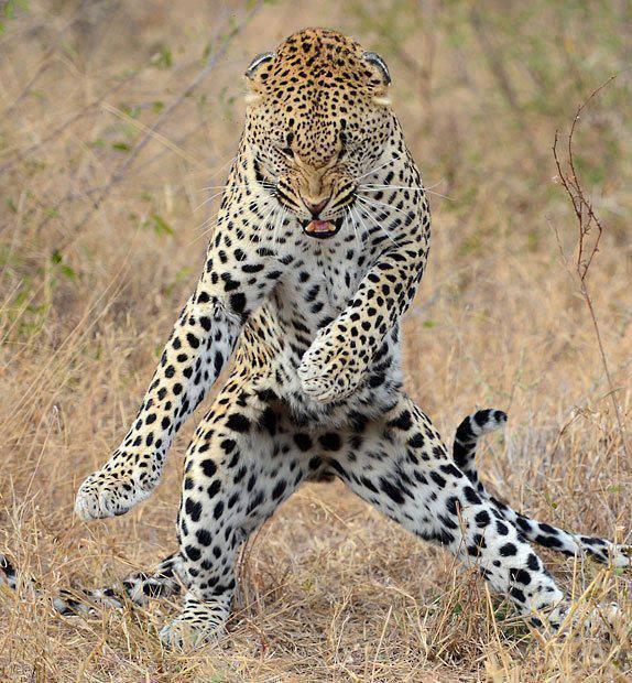 dancing_leopard