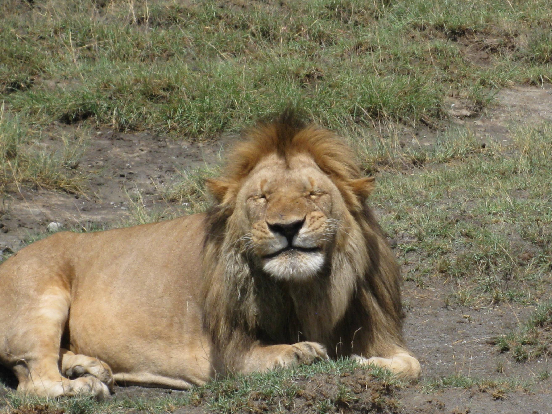 drunk_lion