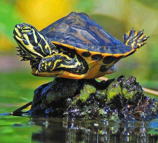 flying_turtle