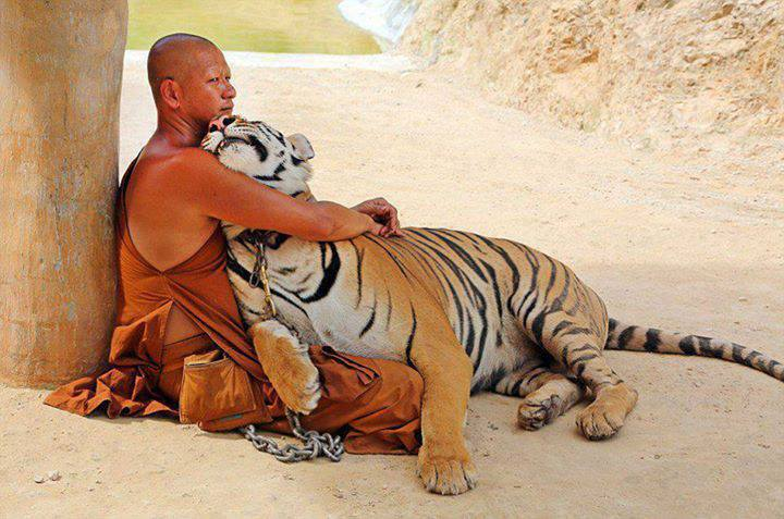 hugging_tiger
