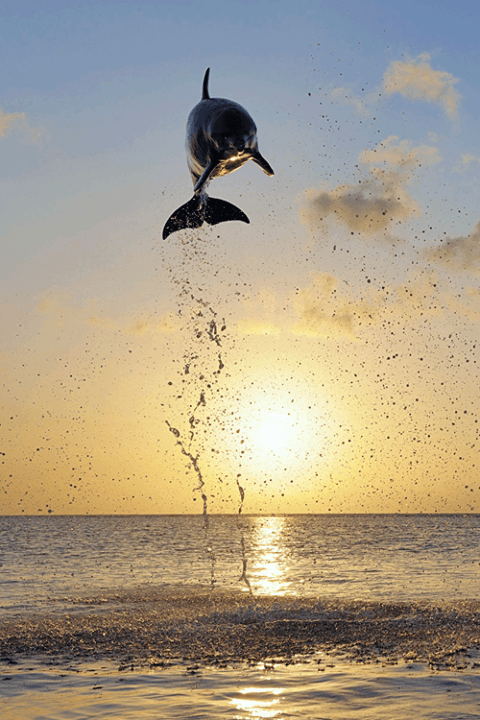 jumping_dolphin