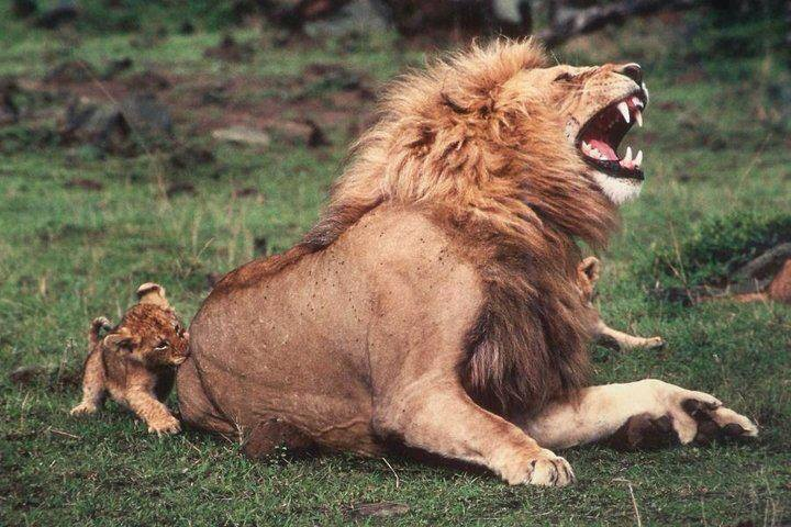 pain_in_the_butt_lion_cub