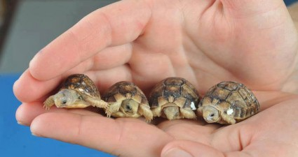 small_egyptian_tortoise