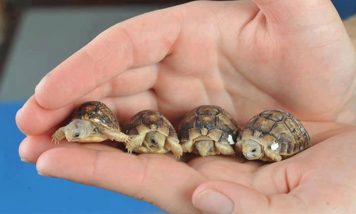 small_egyptian_tortoise