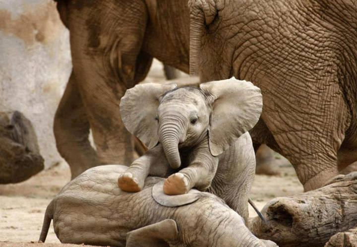 young_elephant_duels