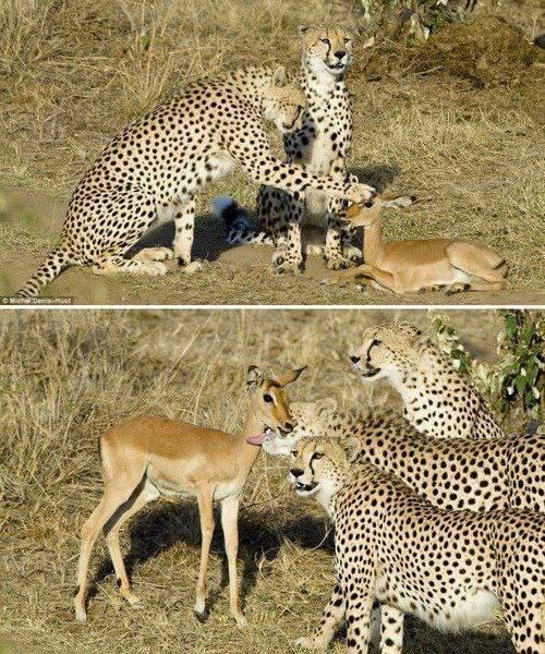 Candidature édition de Maïela !!! =D<333 - Page 2 Cheetahs_petting_impala