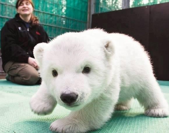 cute_baby_polar_bear