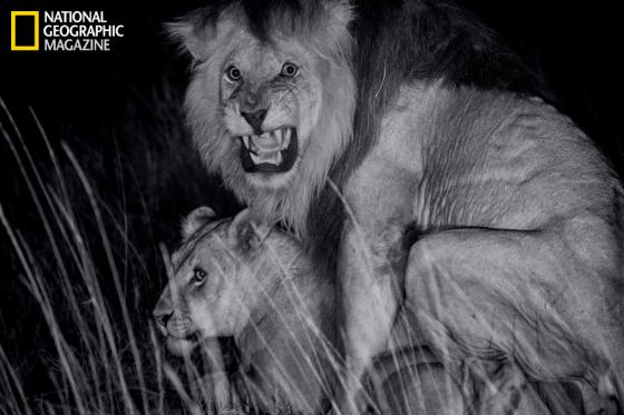 lion_sex