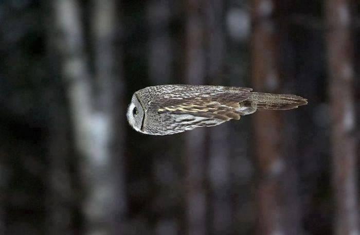 owl_mid_flight