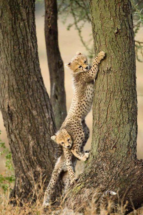 two_cheetah_cubs