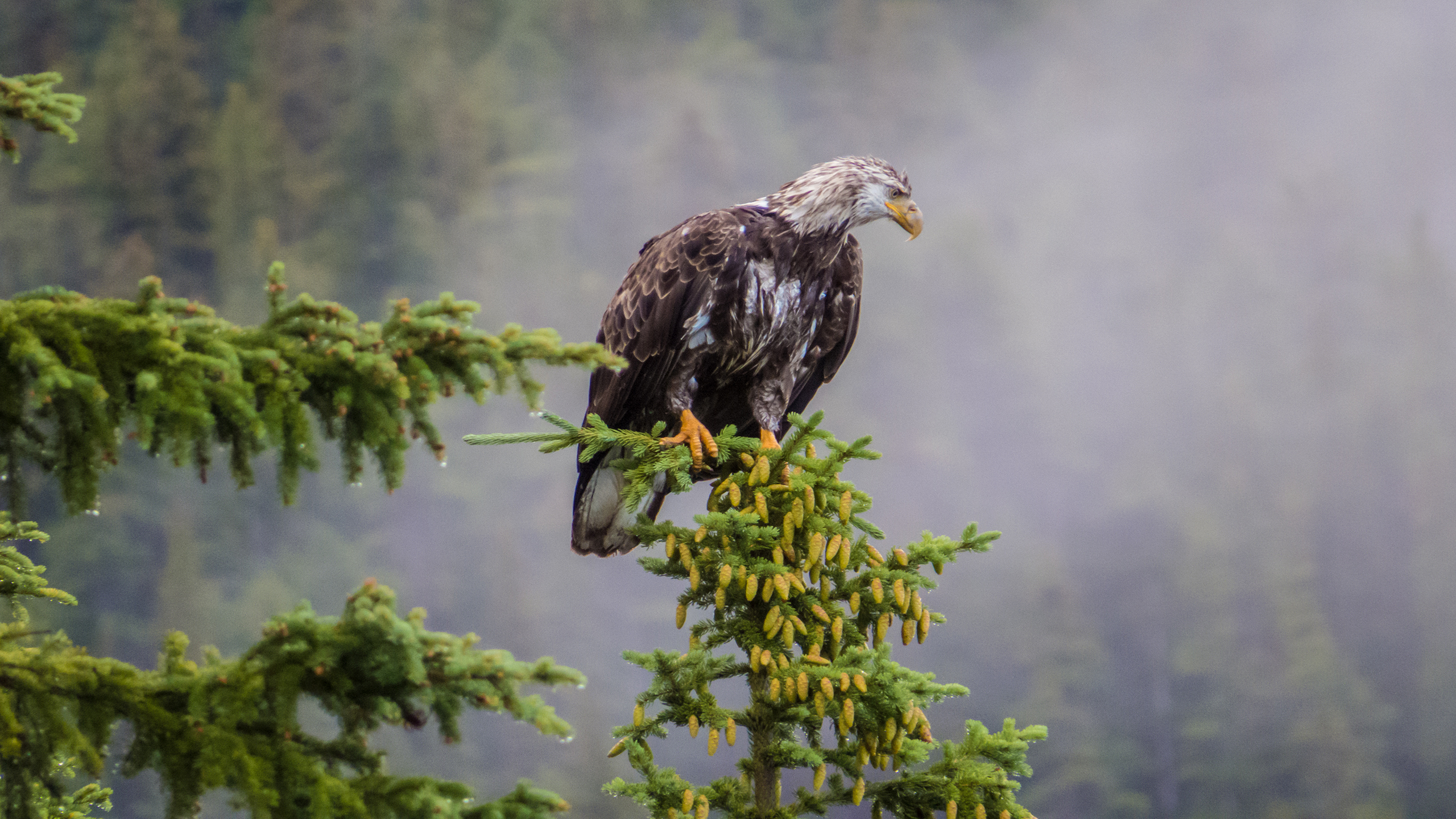 bald_eagle_wallpaper_2560x1440