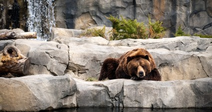 bears_life_wallpaper_2560x1440