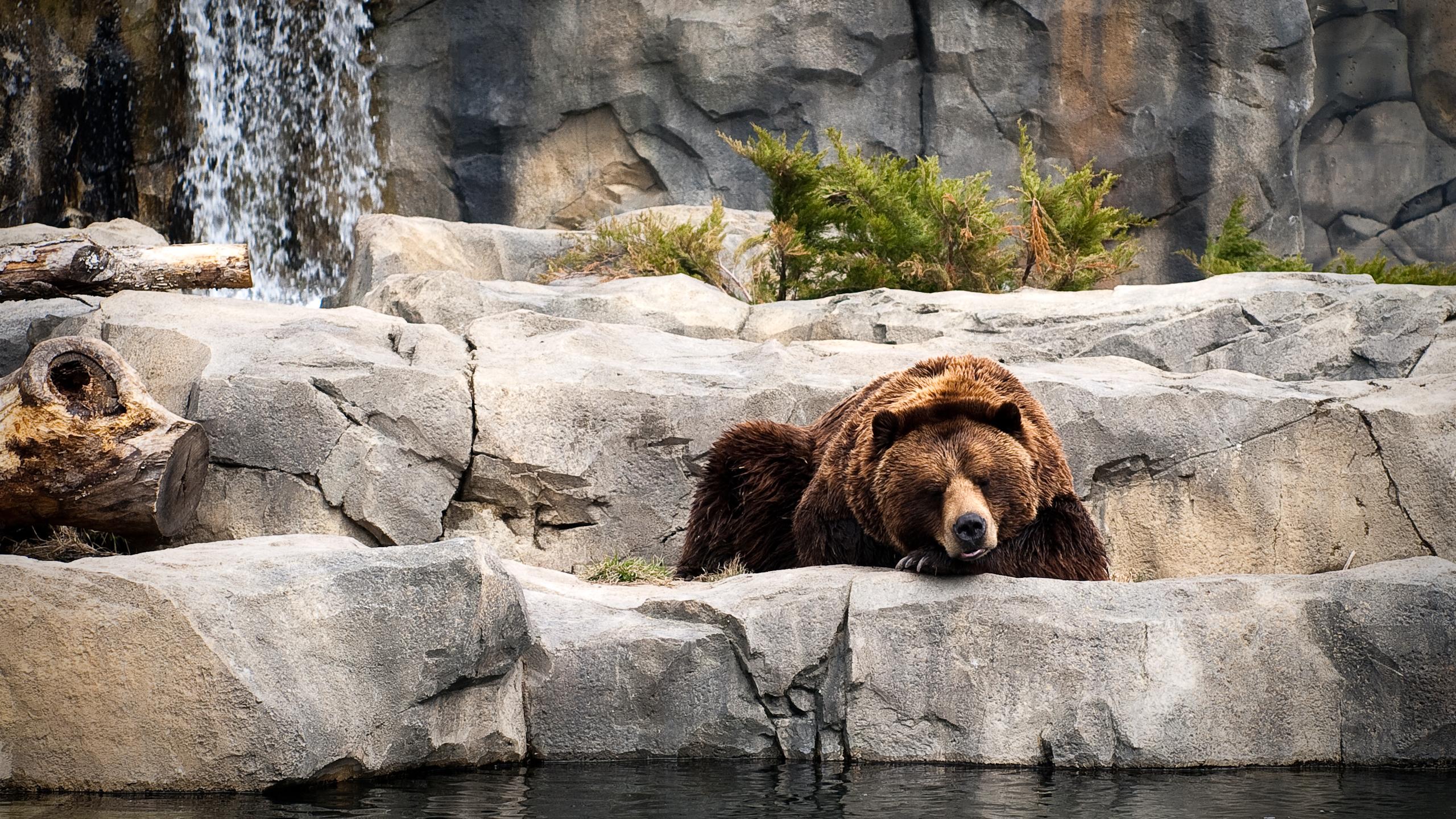 bears_life_wallpaper_2560x1440