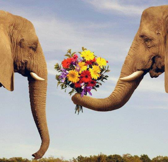 elephant_romance