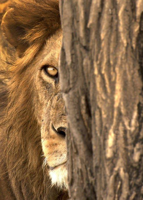 nsa_lion