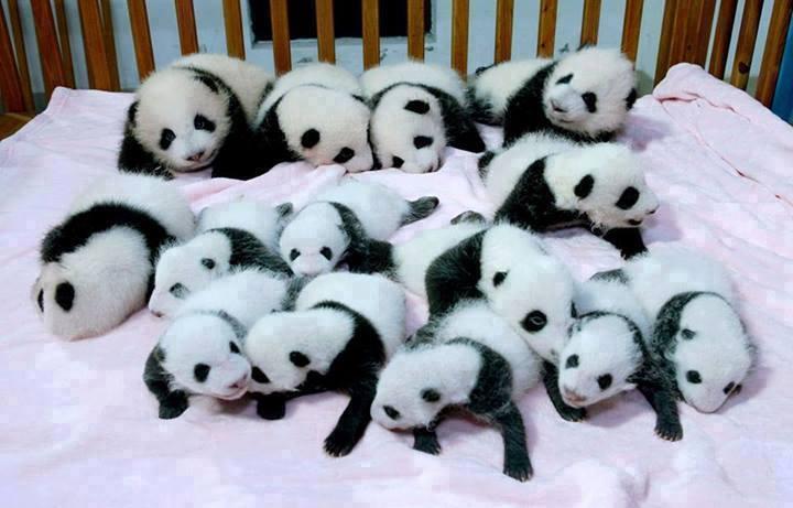 panda_cubs