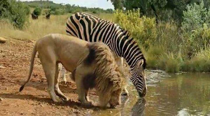Lion Zebra Drinking Water Lion And Zebra Sip Water From