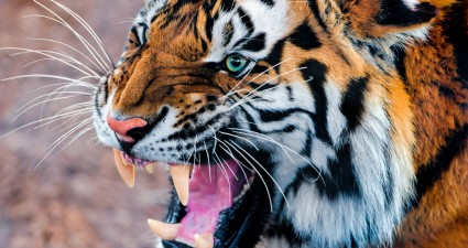 snarling_tiger-wallpaper-2560x1440