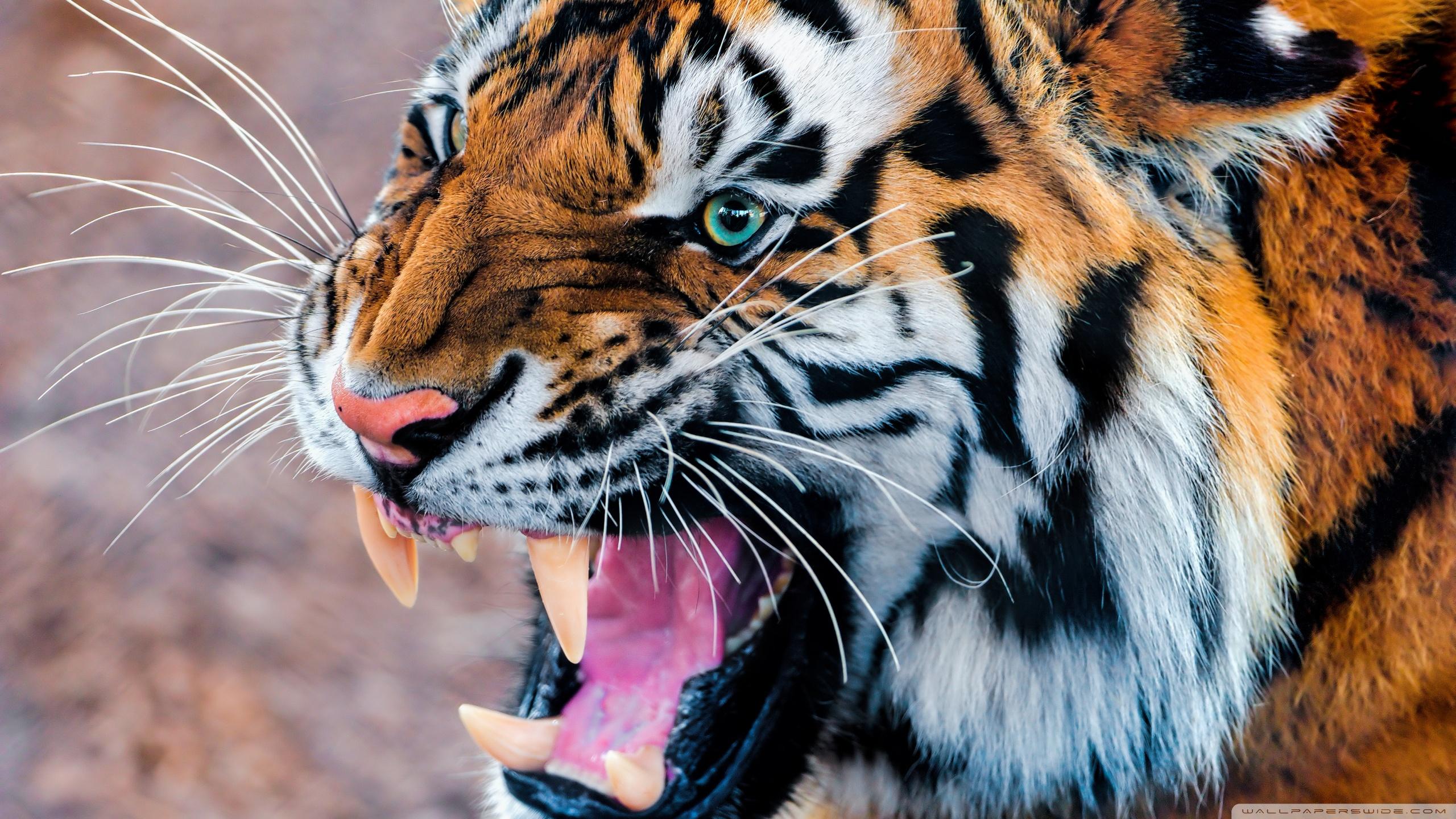snarling_tiger-wallpaper-2560x1440