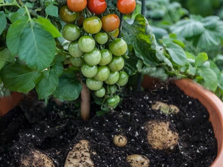 tomtato plant