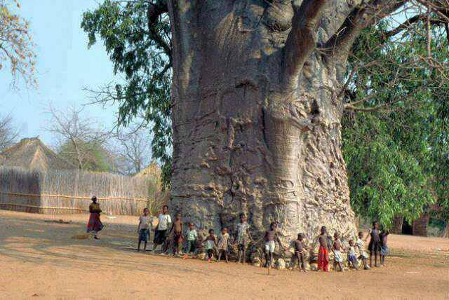 Afrika - Page 17 Tree_of_life_south_africa