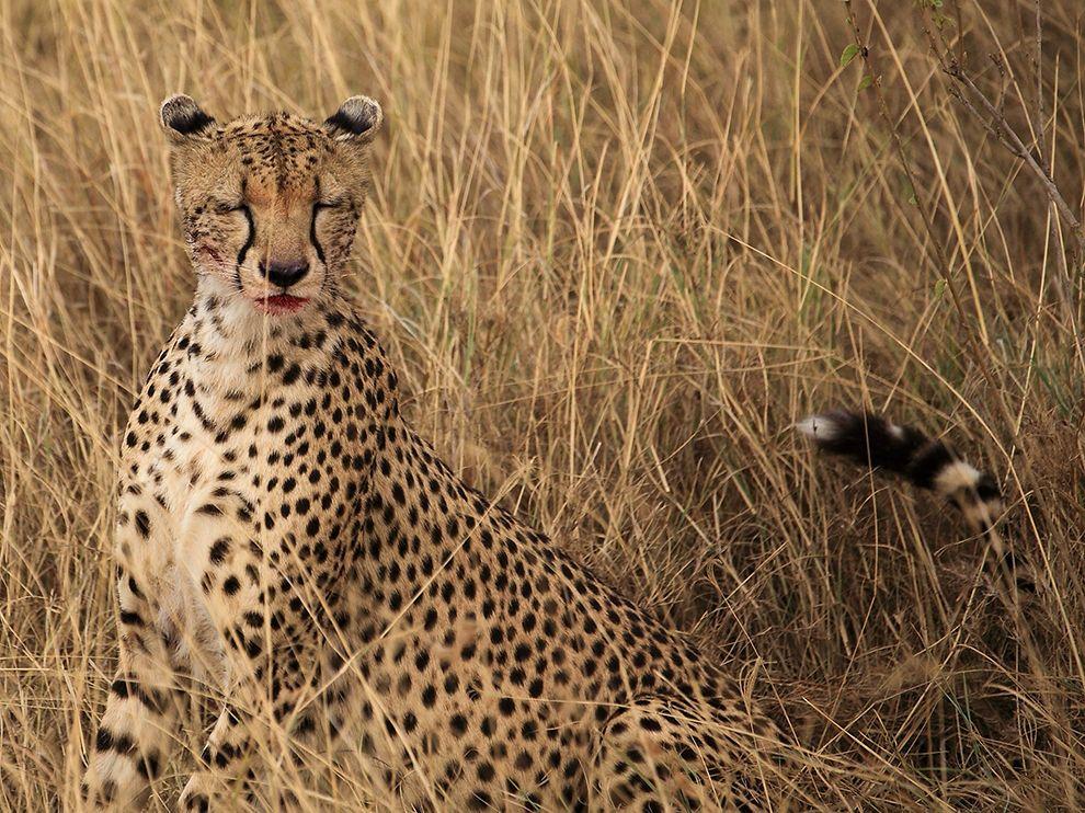 cheetah-moment-serengeti_73331_990x742