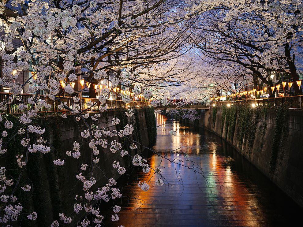 cherry-blossoms-nakameguro_73332_990x742