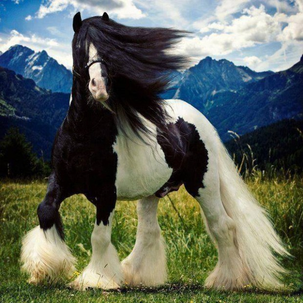 horse swag