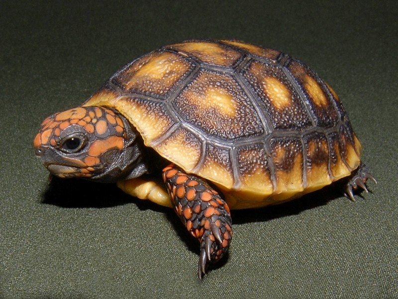 red foot turtle