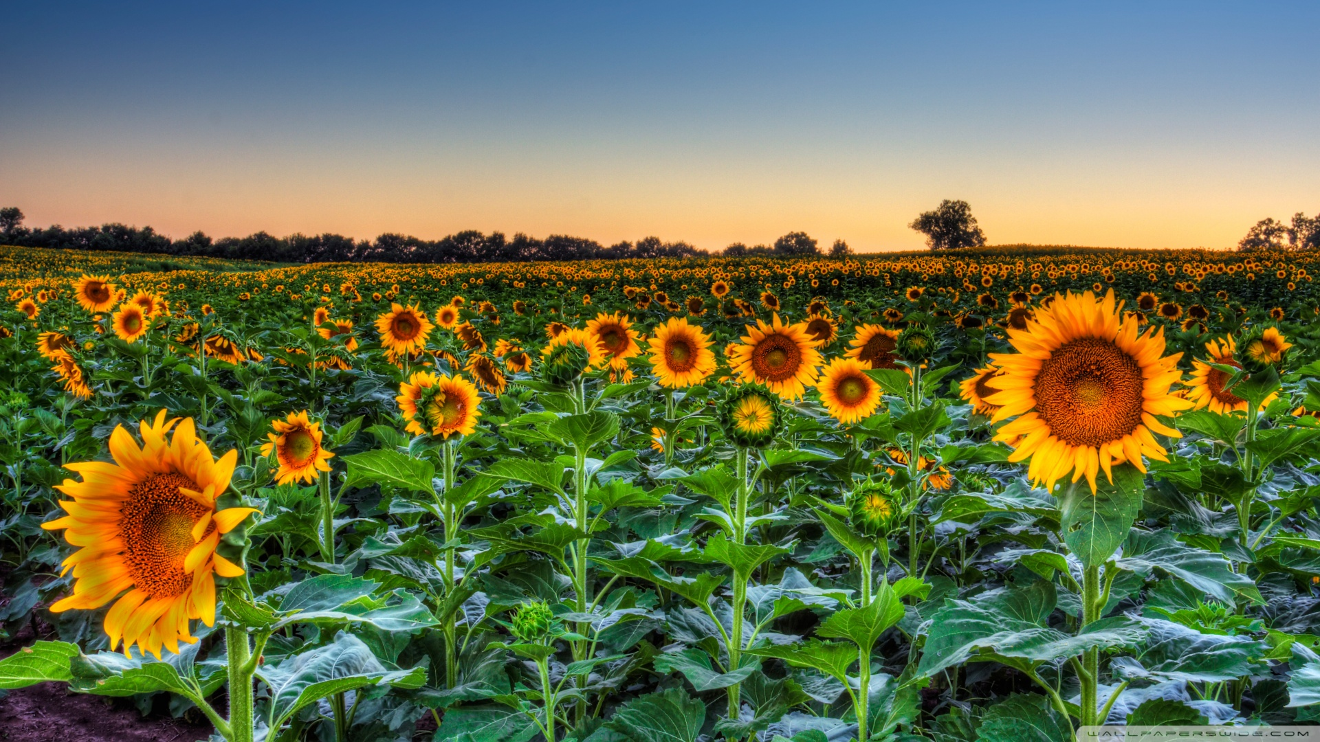 sunflower_field_sunset-wallpaper-1920x1080