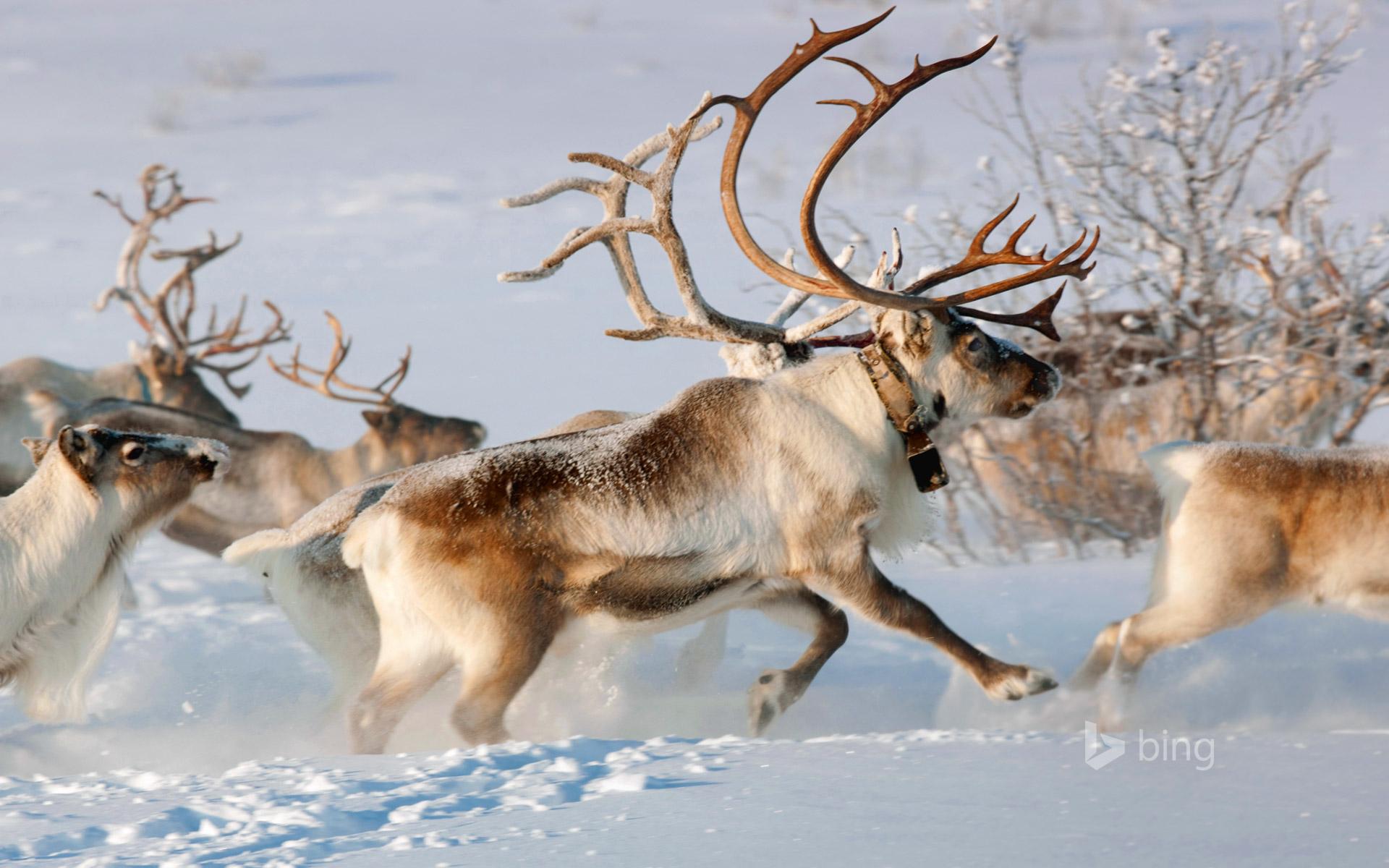 reindeer bing