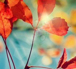 Red-Fall-Leaves-250x443