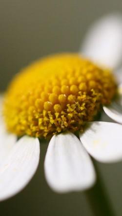 White-Summer-Flower-250x443