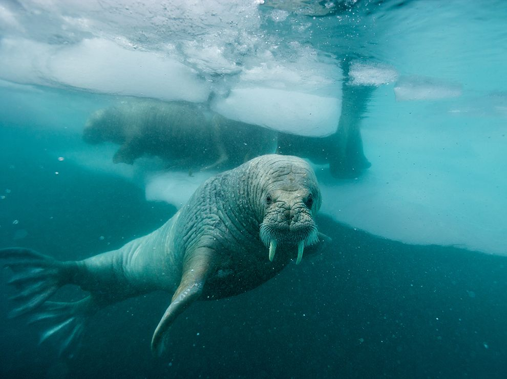 atlantic-walrus-greenland-nicklen_75331_990x742