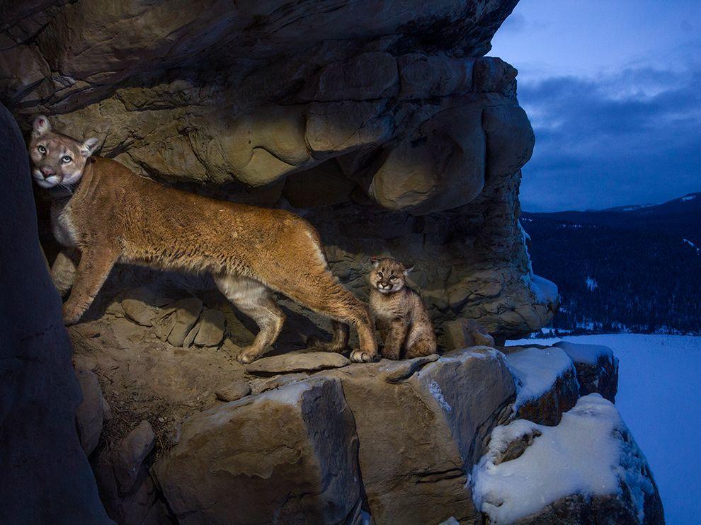 cougars-teton-winter_74612_990x742
