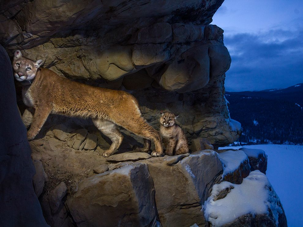 cougars-teton-winter_74612_990x742