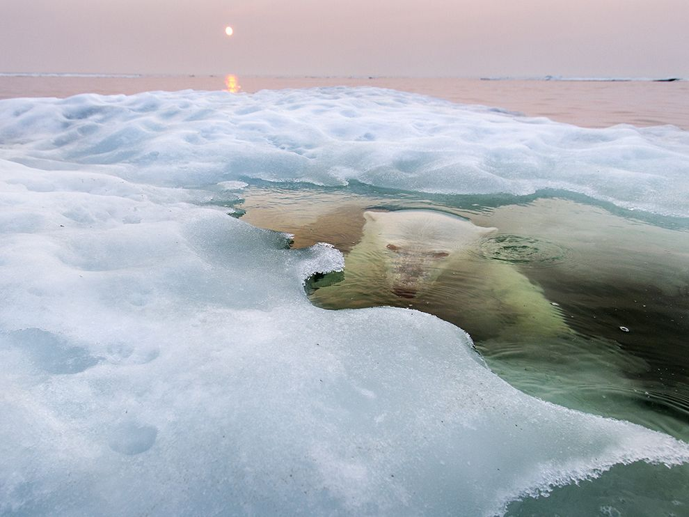 polar-bear-hudson-bay_74620_990x742