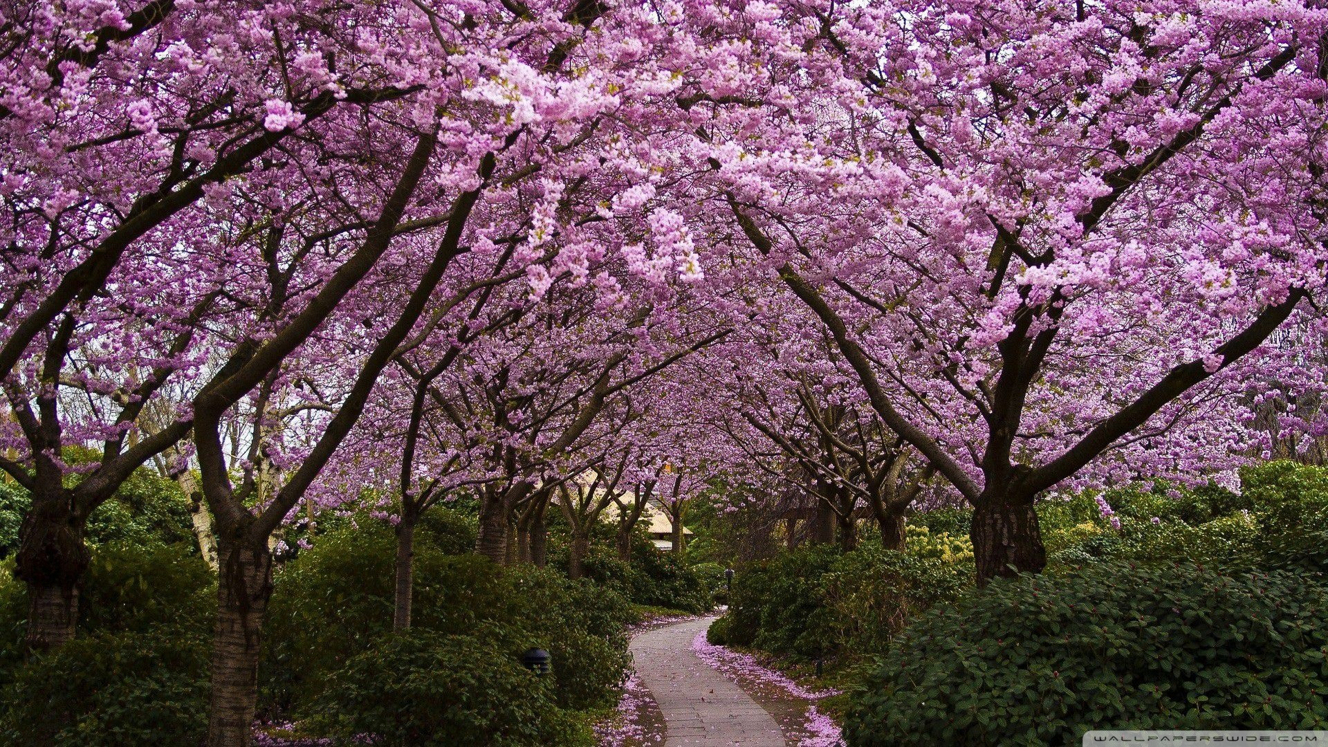 spring_pink_trees-wallpaper-1920x1080