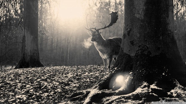 stag_winter-wallpaper-1920x1080