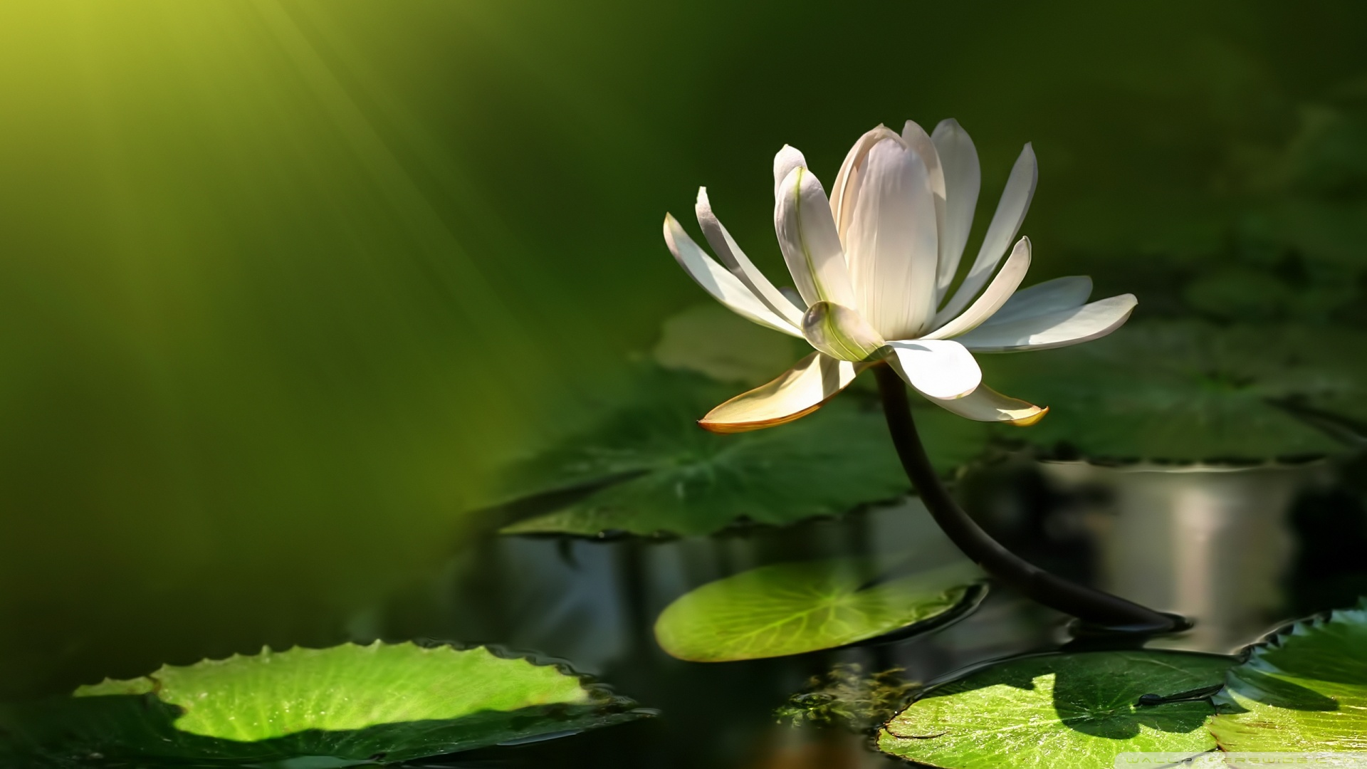 white_lotus_flower-wallpaper-1920x1080