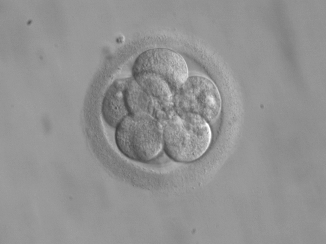 Embryo,_8_cells