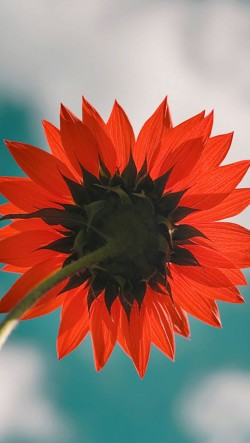 Red-Sunflower-250x443