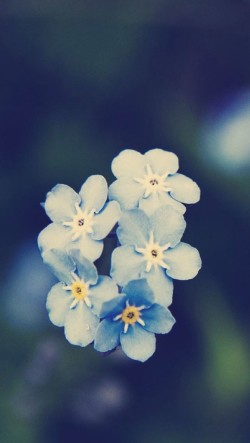 Small-Blue-Flowers-250x443
