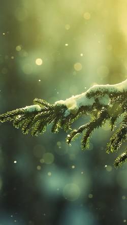 Snow-Cedar-250x443