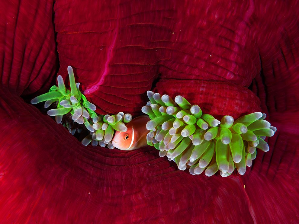 fish-anemone-kimbe-doubilet_76012_990x742