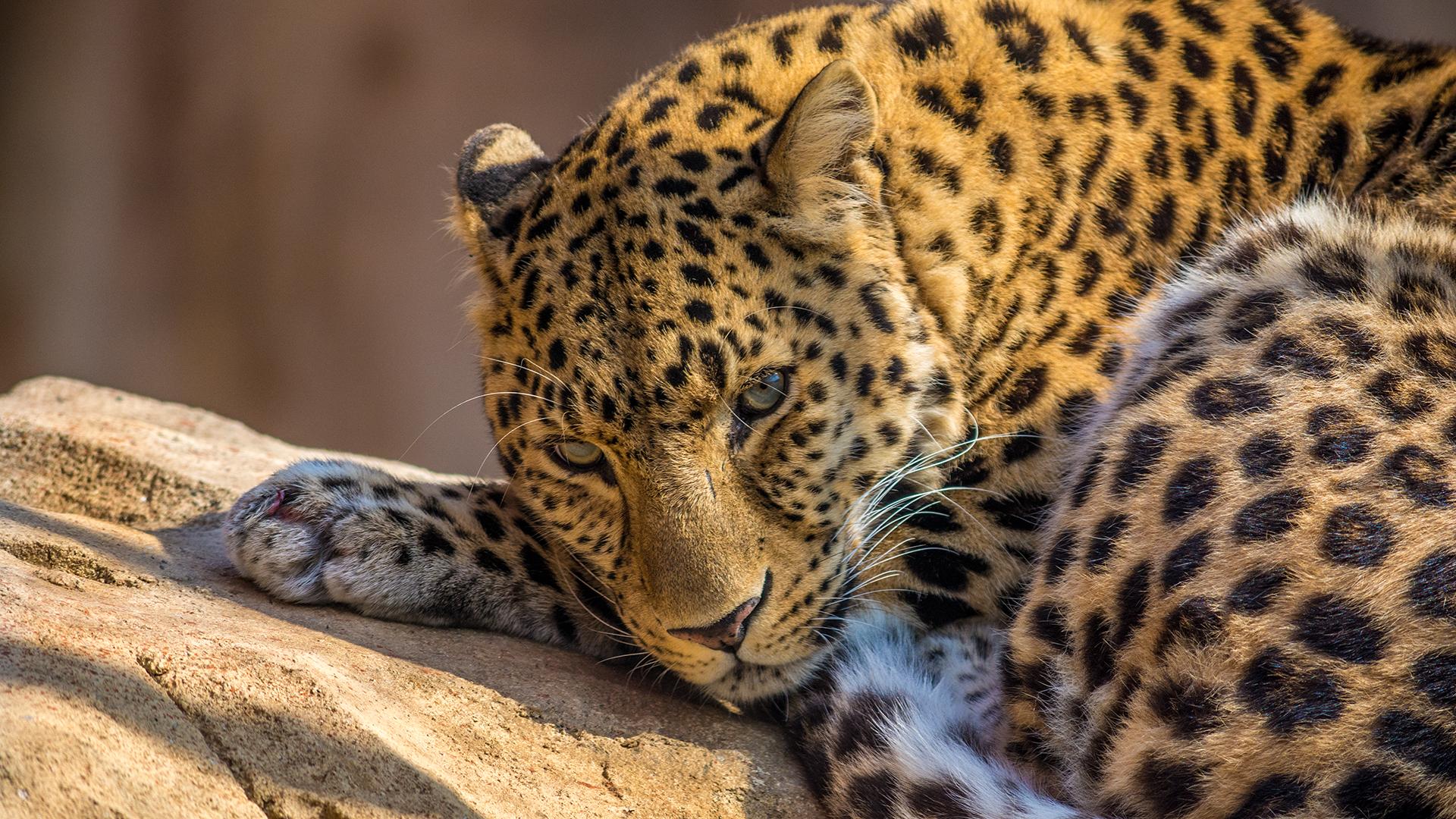 leopard_1920x1080