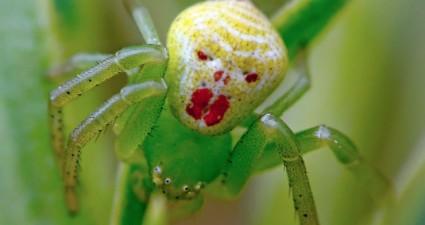 clown crab spider